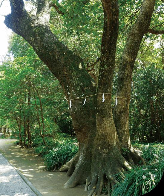 江田神社 御神木のクスノキ